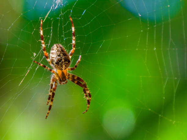 Spider close-up on a green background. Spider on spider web with green background. Closeup of a brown spider isolated on green background. Spider close-up on a green background, horizontal photo. arachnid stock pictures, royalty-free photos & images