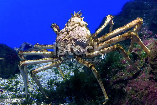 Spider crab underwater. Ocean and sea life close-up. Giant Japanese crab is walking along bottom.