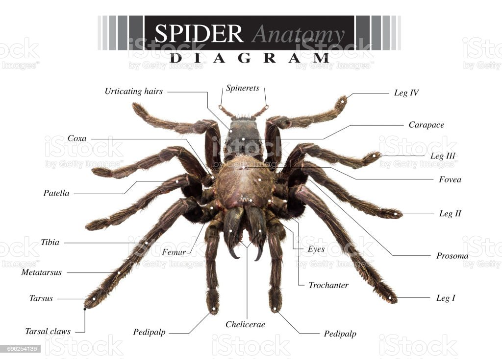 Spider Diagram Stock Photo - Download Image Now