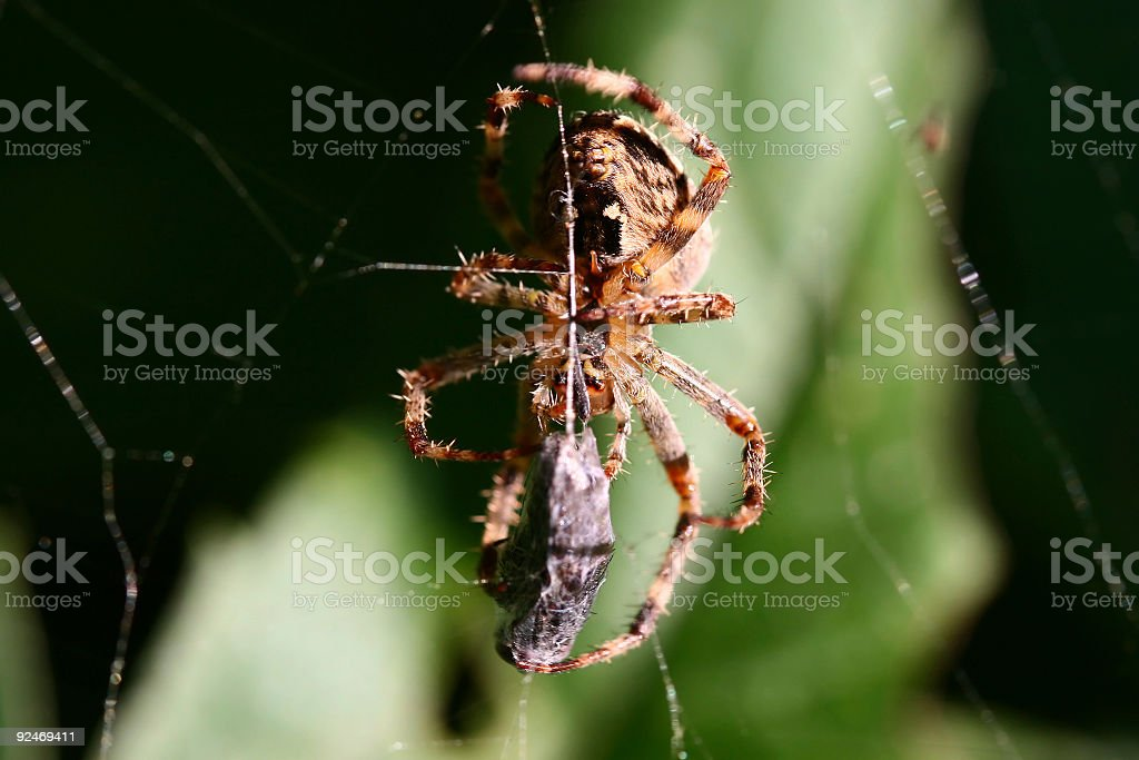 Spider eating a fly stock photo