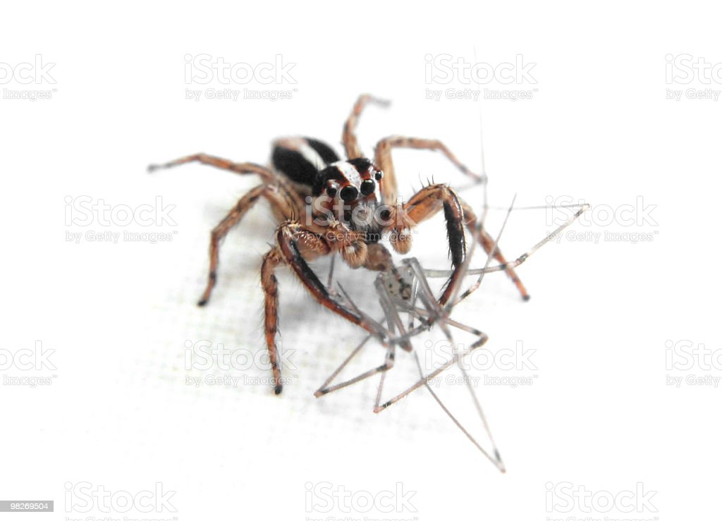Spider eating another one royalty-free stock photo