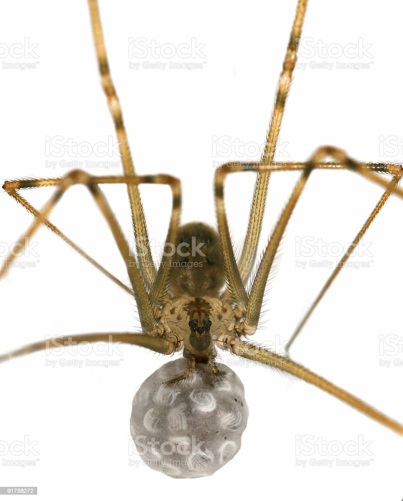 Spider Egg Sack  (Macro) stock photo
