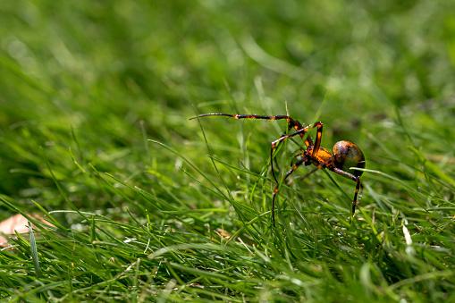 Spider, European cave spider, meta menardi