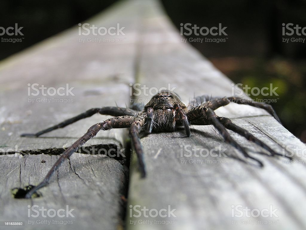 spider face royalty-free stock photo