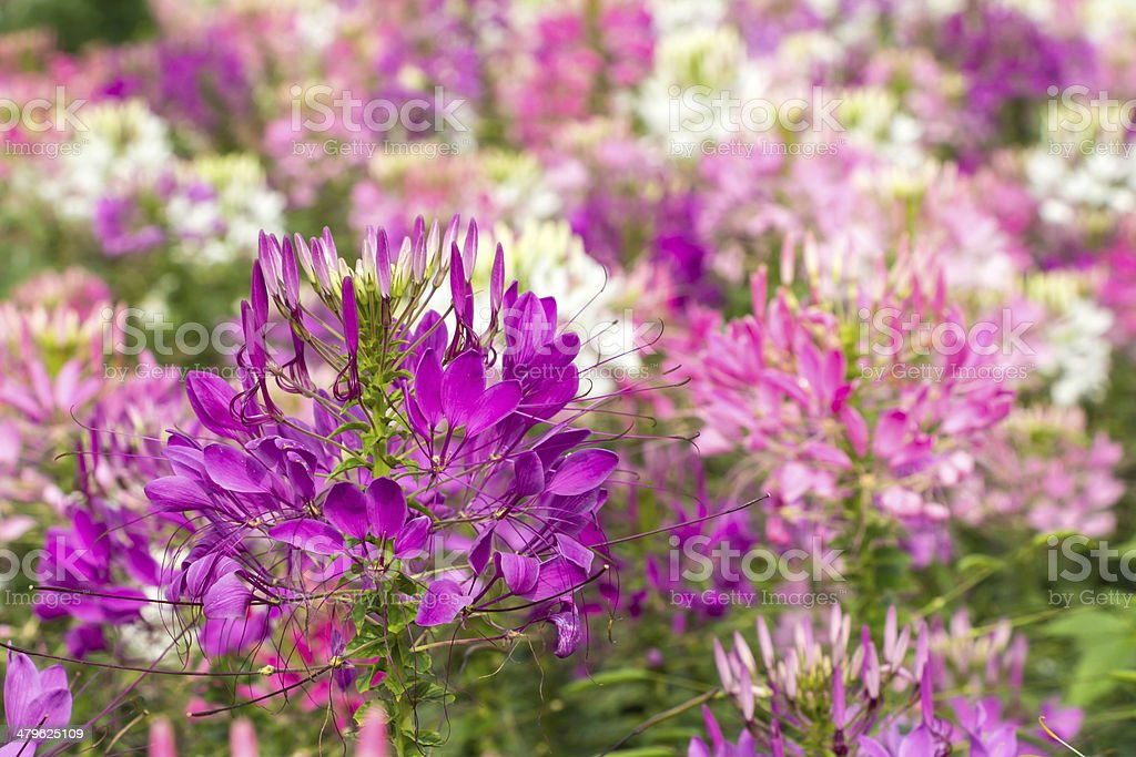 Spider flower(Cleome hassleriana) background stock photo