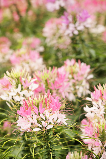 Spider flower blossoms - Cleome hassleriana - a long-bloming scented annual cultivar.  Vertical composition with focus on one flower head positioned at lower left with the remaining flower heads in various degrees of de-focus.  Color scheme of the image is pink, white and green.