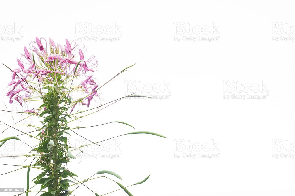 Spider Flower isolated. stock photo