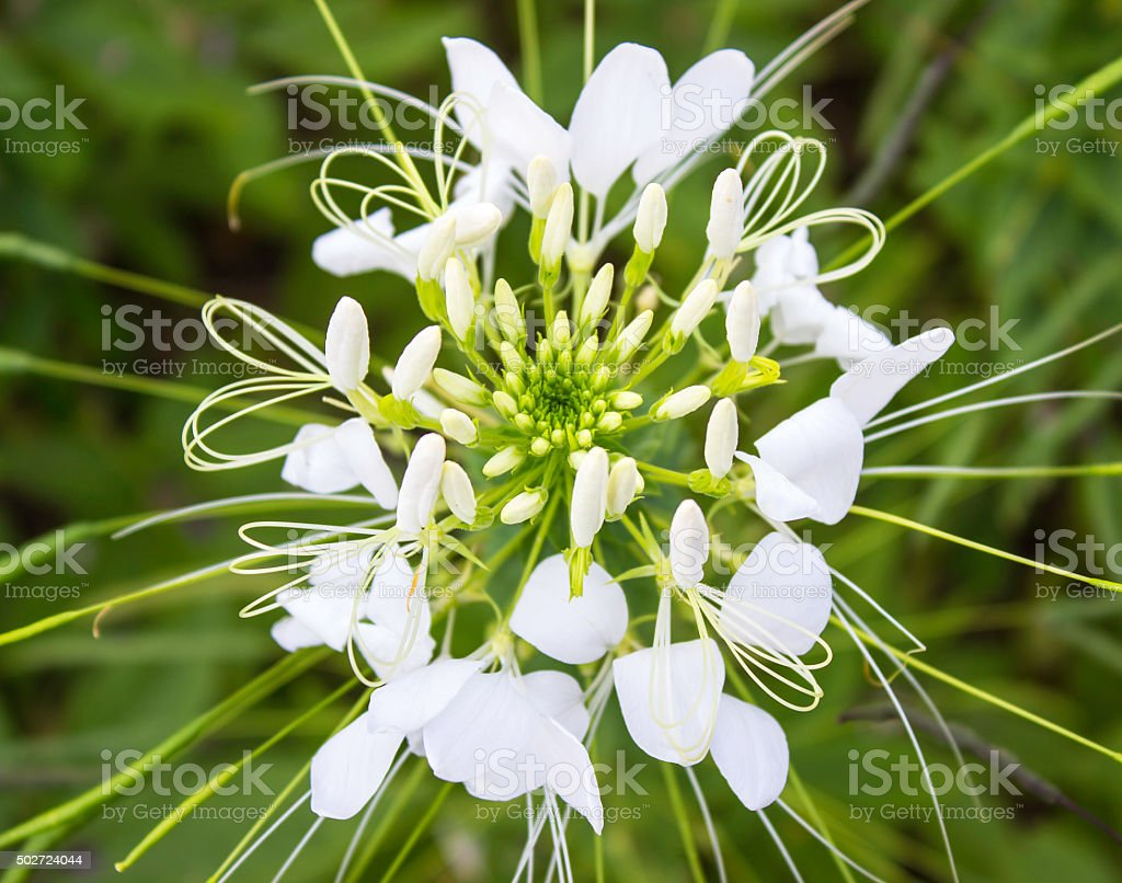 Spider Flower White Background Stock Photo More Pictures Of 2015