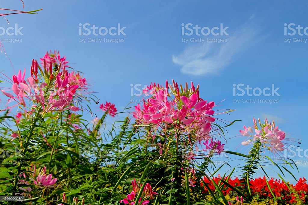 Spider Flower,Cleome spinosa L. in the garden royalty-free stock photo
