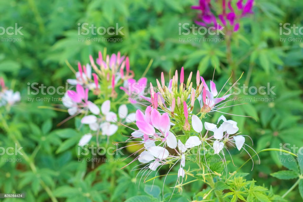 Spider flowers or CLEOME SPINOSA LINN are blooming in autumn. stock photo