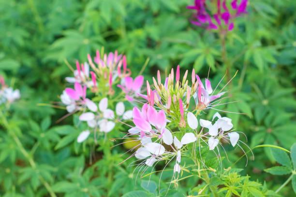 Flores de araña o CLEOME SPINOSA LINN se florece en otoño. - foto de stock