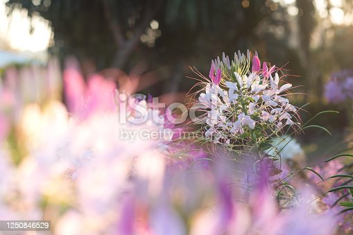 Spider flowers or CLEOME SPINOSA LINN are blooming on flare from sun rise time in autumn.