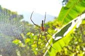 Spider Golden Orb, Arachnida,   Potter silk of the Night.