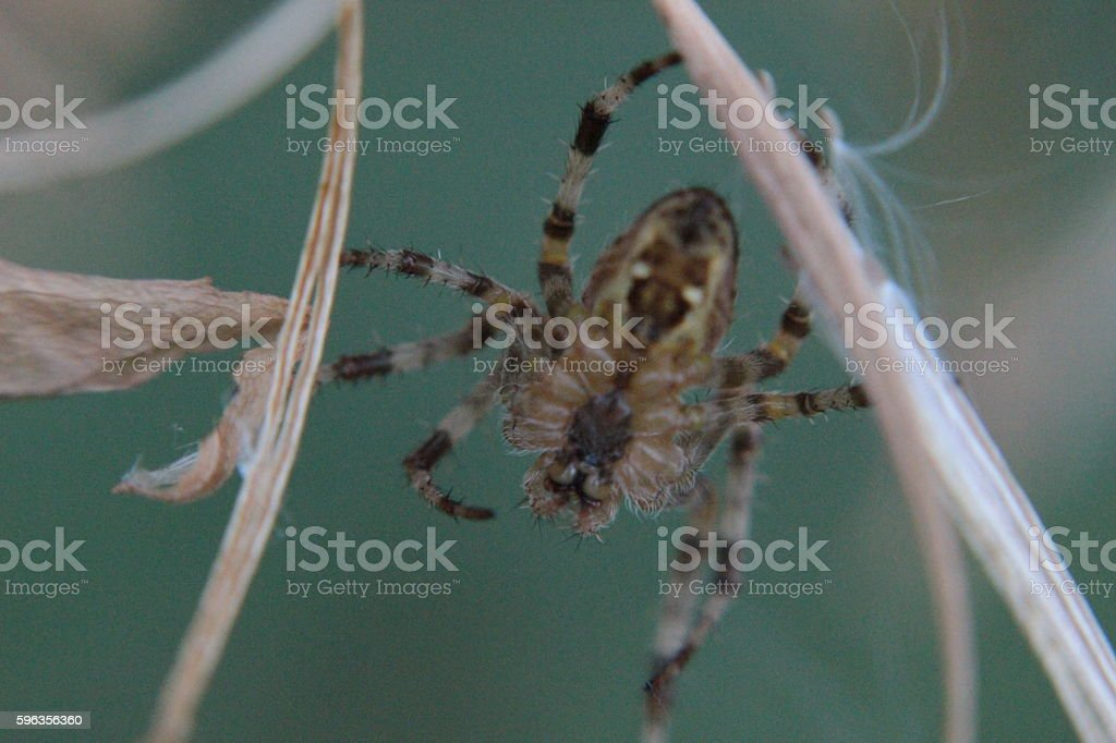 Spider hiding royalty-free stock photo