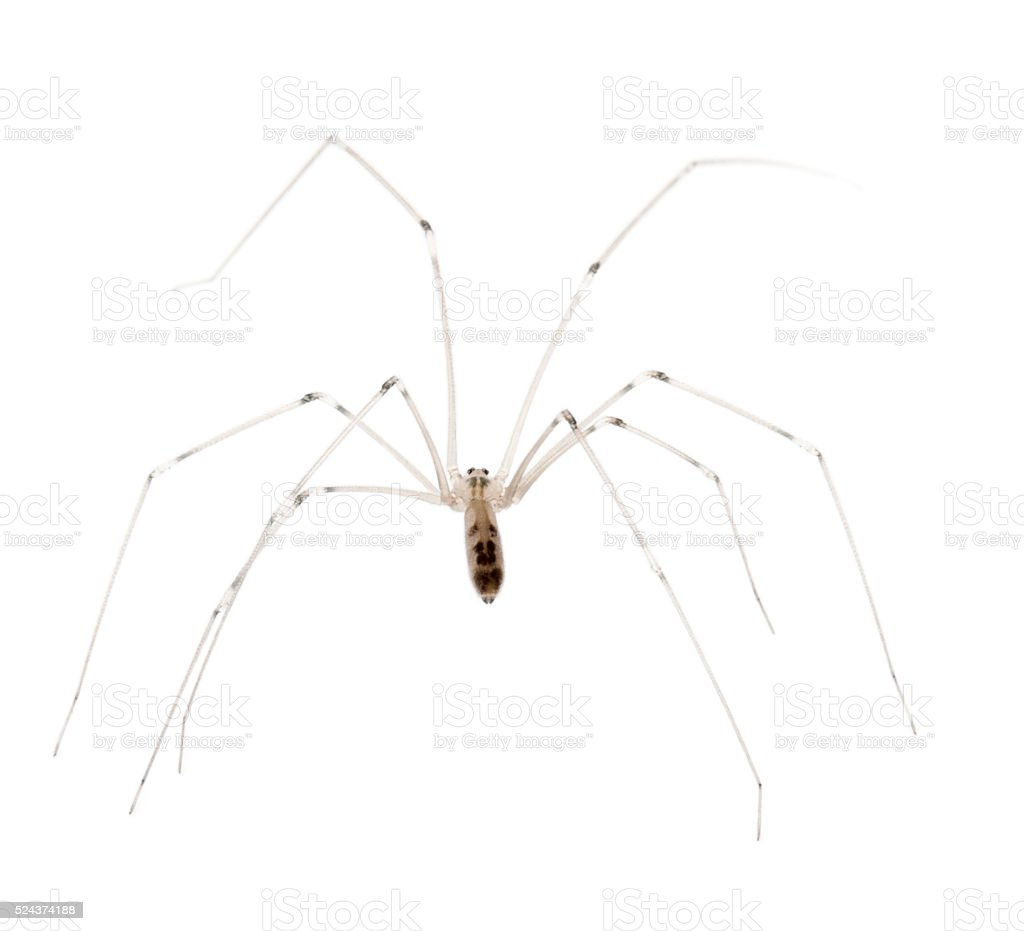 Spider, Holocnemus pluchei, in front of white background stock photo