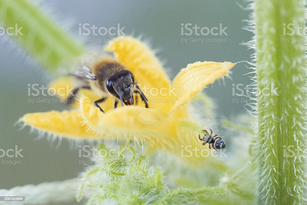 Spider & Honeybee in Standoff on a Squash Flower Blossom royalty-free stock photo