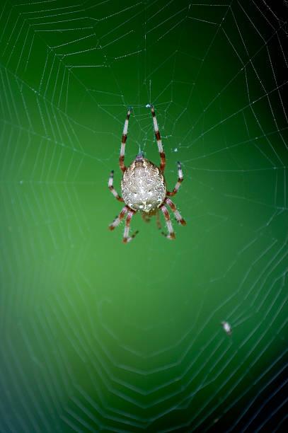Spider in a spiderweb stock photo