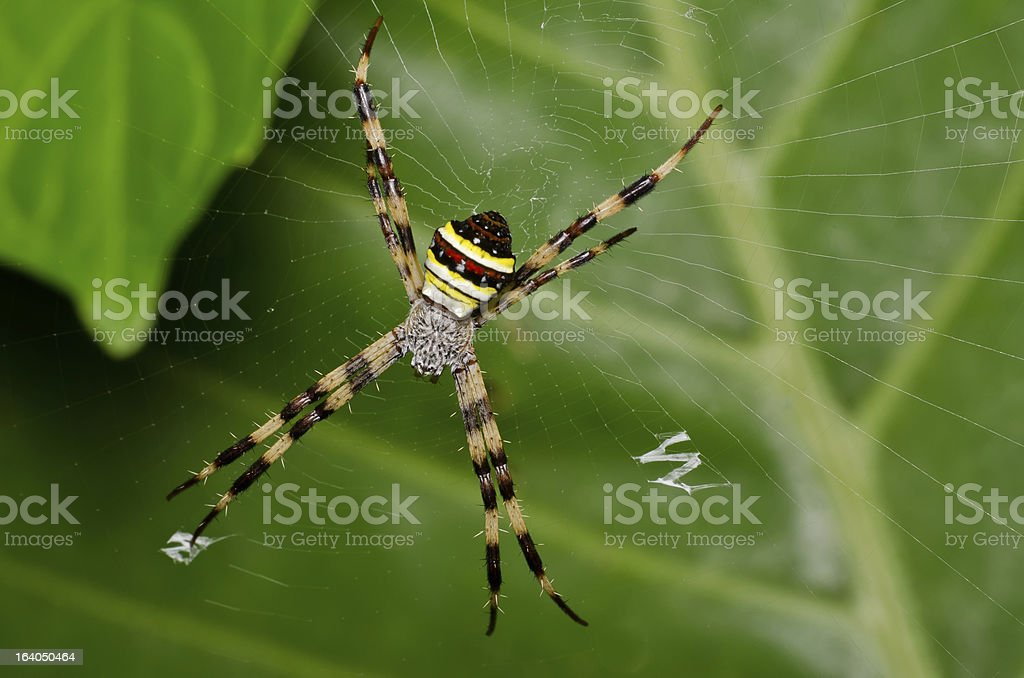 spider in a web royalty-free stock photo