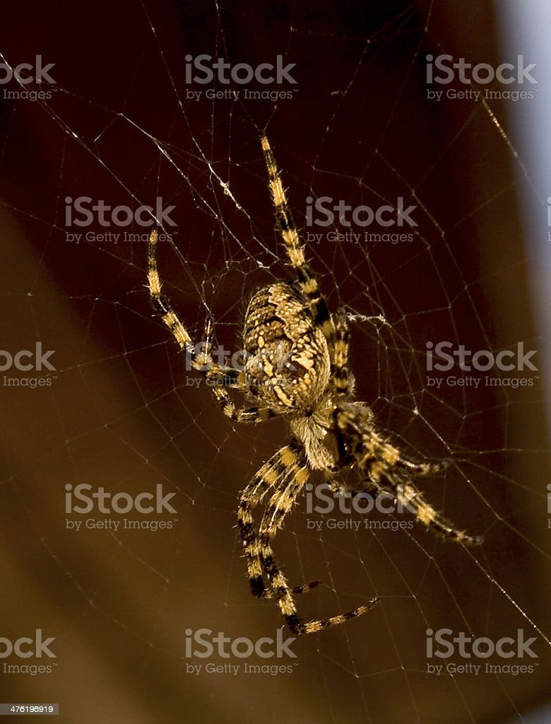 Spider in natural environment royalty-free stock photo