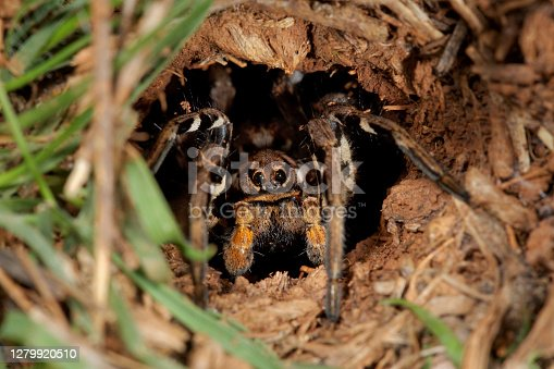 Spider in the nest  from Krk island, Croatia