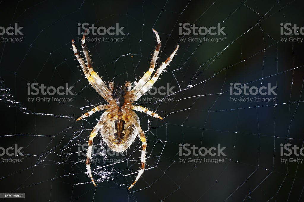 Spider in Web royalty-free stock photo