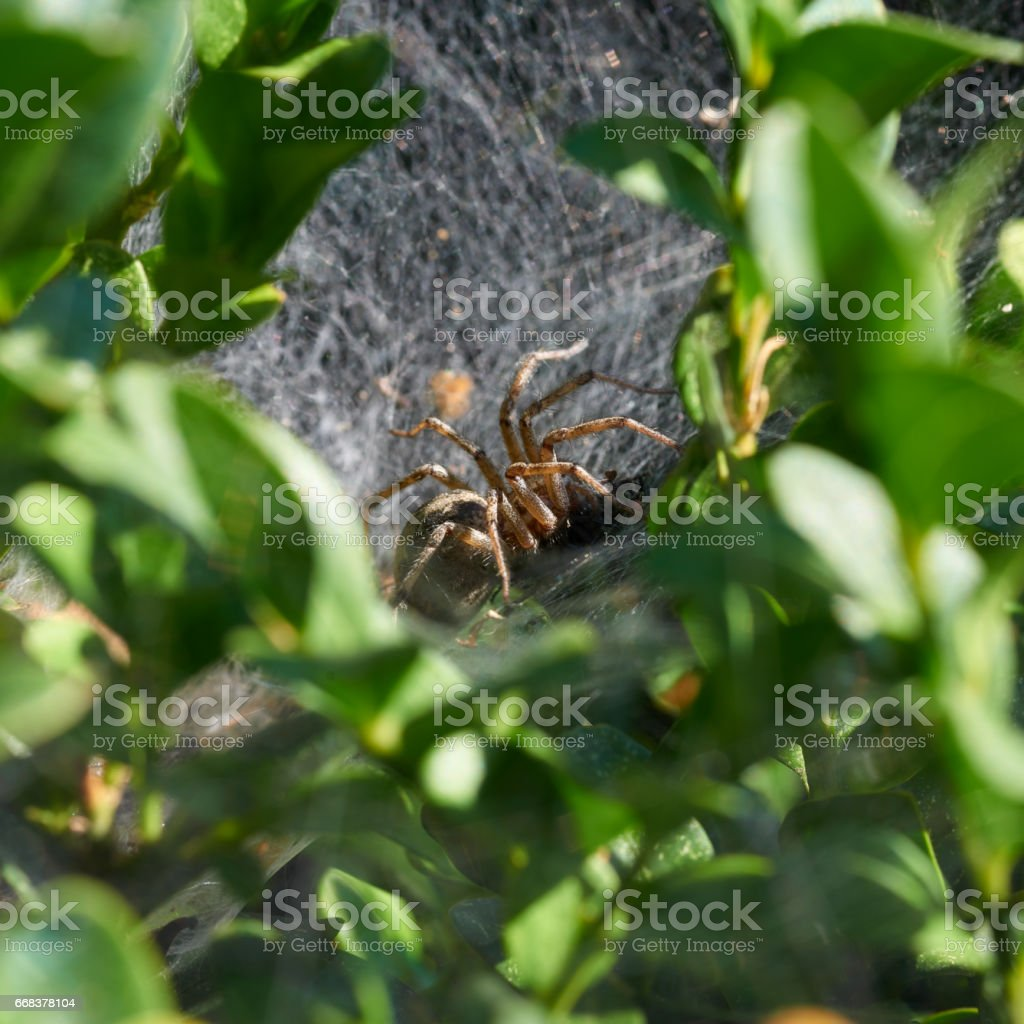 A spider is eating victim in hidden nest stock photo