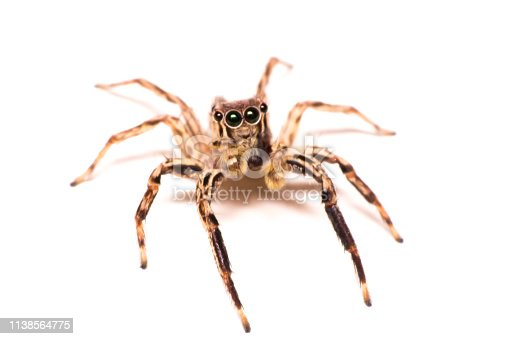 istock Spider isolated 1138564775
