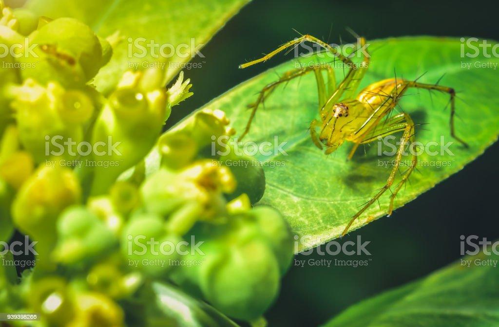 Spinne springen hat eine schöne gelb-orangen auf grünen Blättern. – Foto