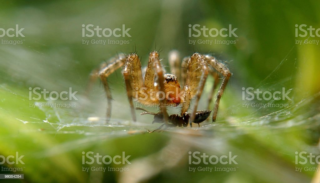 Spider Kills Ant in Web royalty-free stock photo