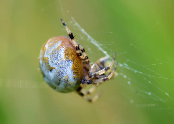 A spider knits a web. Summer activity of insects.A spider knits a web. ensnare stock pictures, royalty-free photos & images