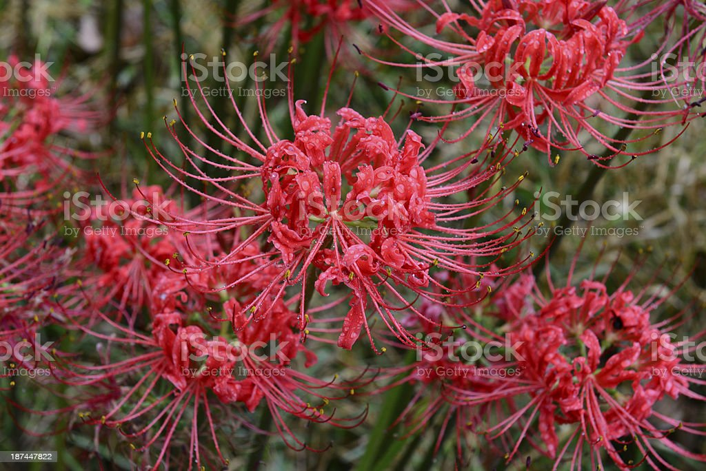 Spider Lilies stock photo
