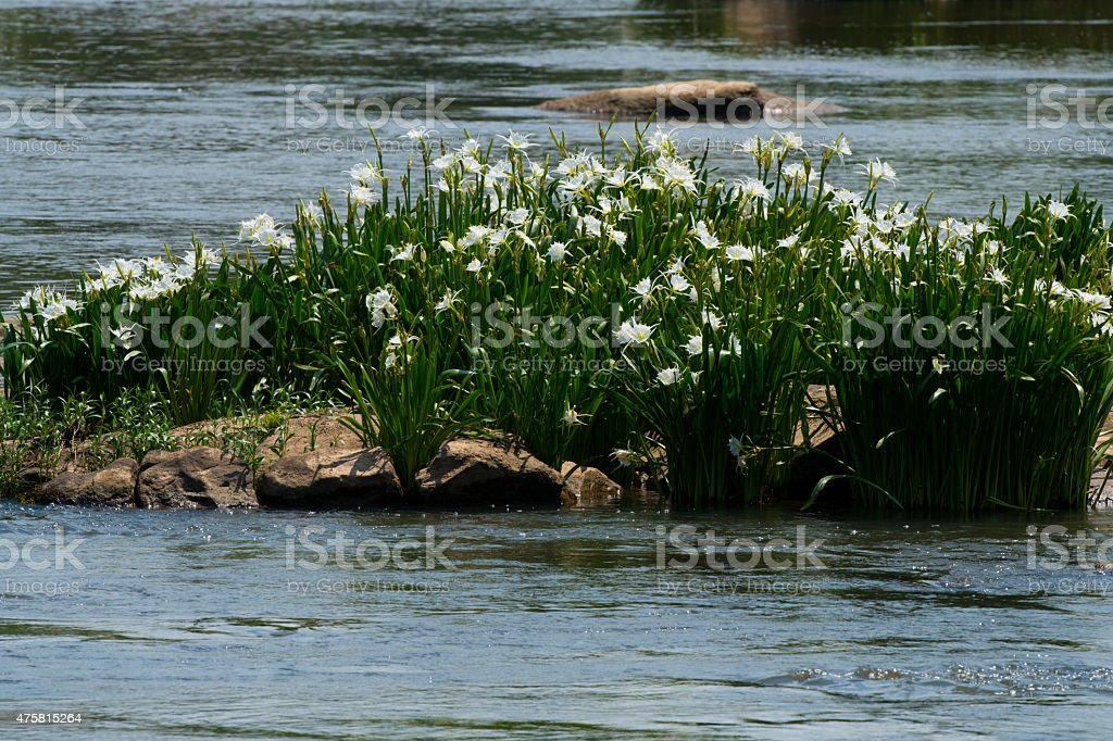Spider Lilly Island stock photo