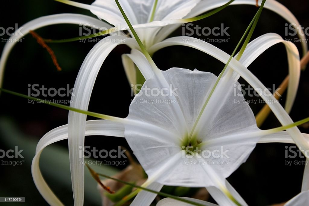 Spider lilly. stock photo