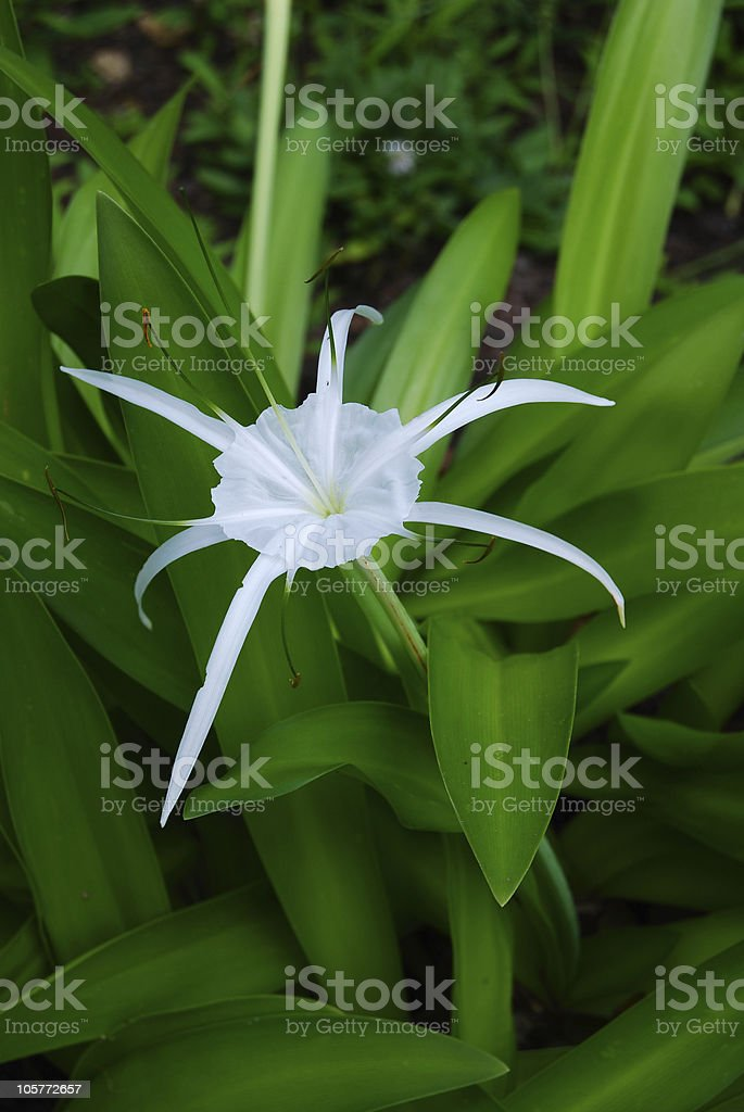 Spider Lily Flower stock photo