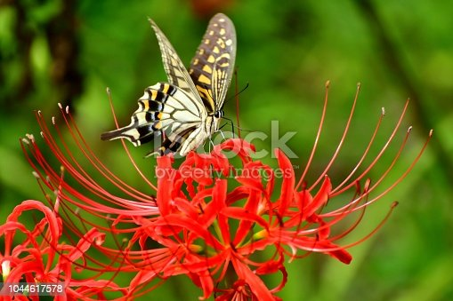 Spider lily, also called Hurricane lily and Surprise lily, is a perennial bulb that blooms in September. Spider lily is called Autumn Equinox Flower in Japan, because it normally blooms around the Autumn Equinox. The butterfly is papilio machaon, a species of swallowtail butterfly.