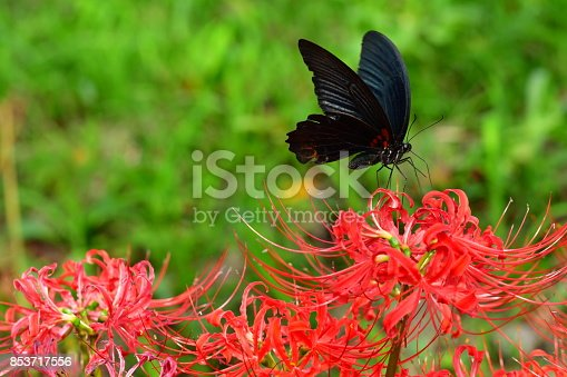 Spider lily, also called Hurricane lily and Surprise lily, is a perennial bulb that blooms in September. Spider lily is called Autumn Equinox Flower in Japan, because it normally blooms around the Autumn Equinox.