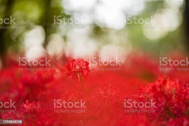 Spider lily flowers picture id1255846258?b=1&k=6&m=1255846258&s=612x612&h=mcy0xpledizz43ogkyt4bp5gbvnpebj4ppxnh9 iija=