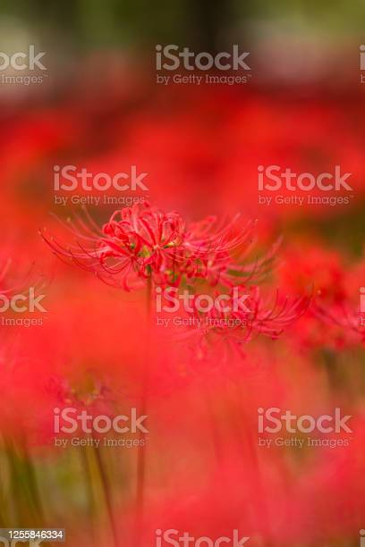 Spider lily flowers picture id1255846334?b=1&k=6&m=1255846334&s=612x612&h=lkoxe6slgadjl0quegwwsxur43rd5ldwzqjeec8vvyw=