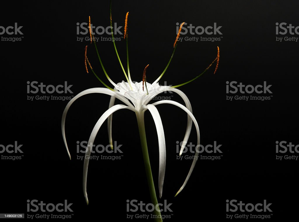spider lily on a black stock photo
