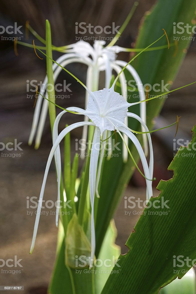 Spider Lily stock photo
