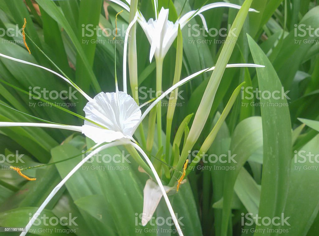 Spider Lily. stock photo