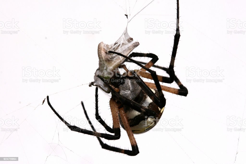 Spider Lunch on White royalty-free stock photo