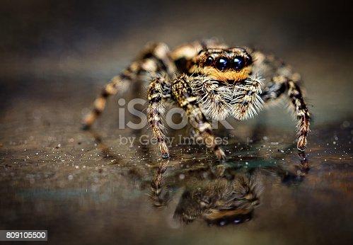 Spider Marpissa muscosa  female jumping predator spider