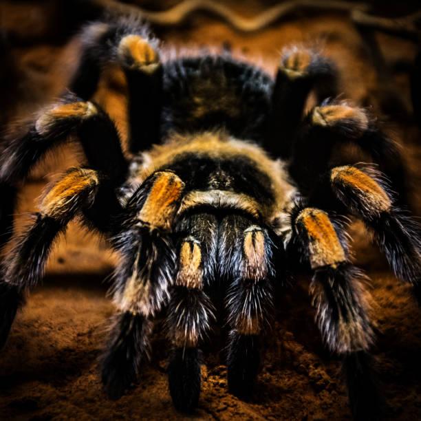 Giftige Spinne Deutschland