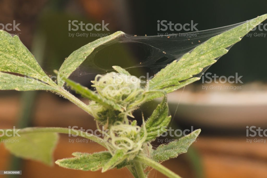spider mite webs on marijuana plant stock photo