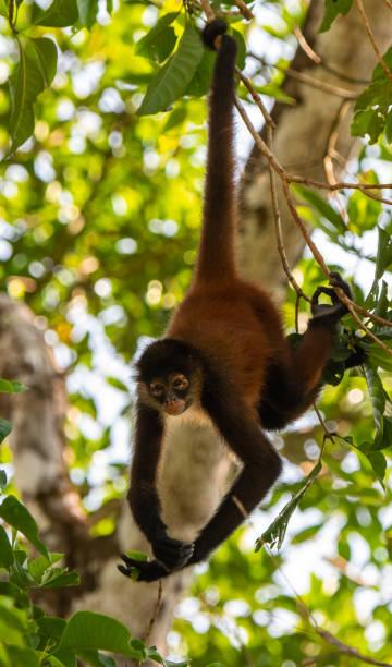 een spin aap bungelen van een boom - schommelen bungelen stockfoto's en -beelden