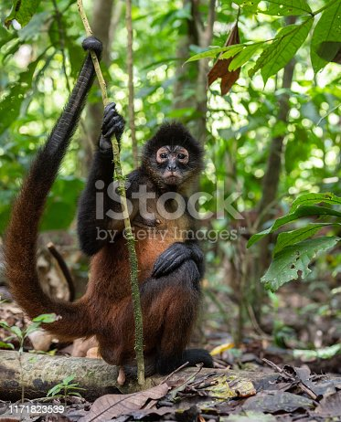 Spider monkey in costa rica in the rainforest