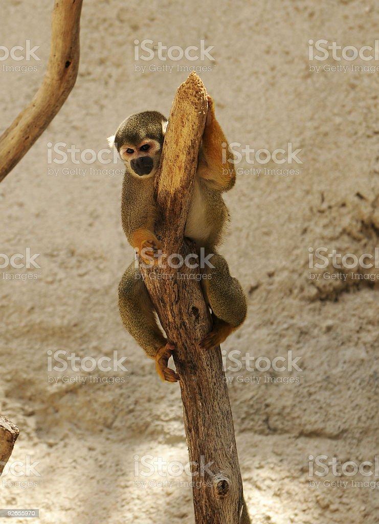 Spider monkey royalty-free stock photo