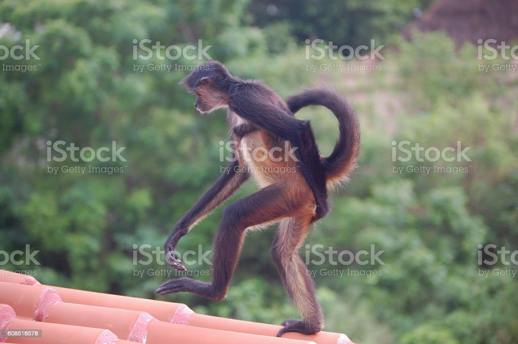 Spider Monkey Walking Stock Photo More Pictures Of Animal Wildlife