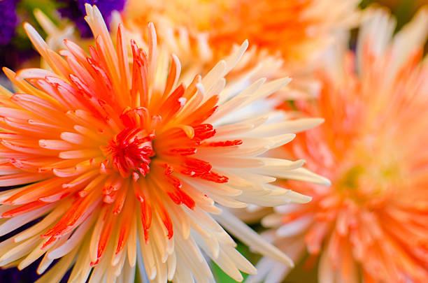 Spider Mum/ Chrysanthemum/ Flowers- horizontal stock photo